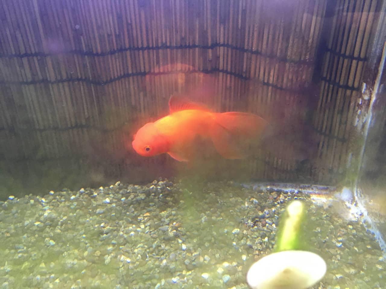 goldfish_aquarium_cleaning_01
