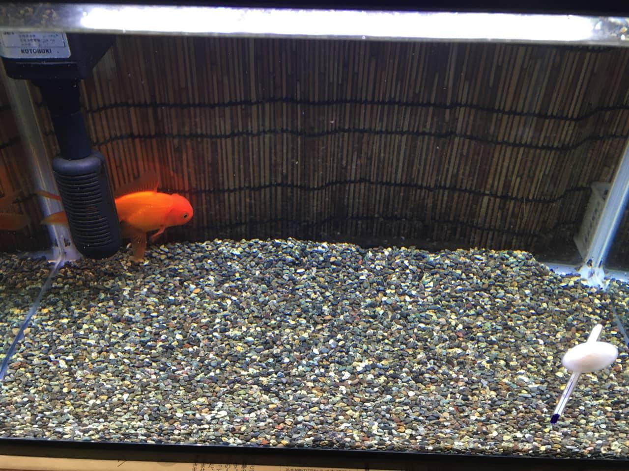 goldfish_aquarium_cleaning_13