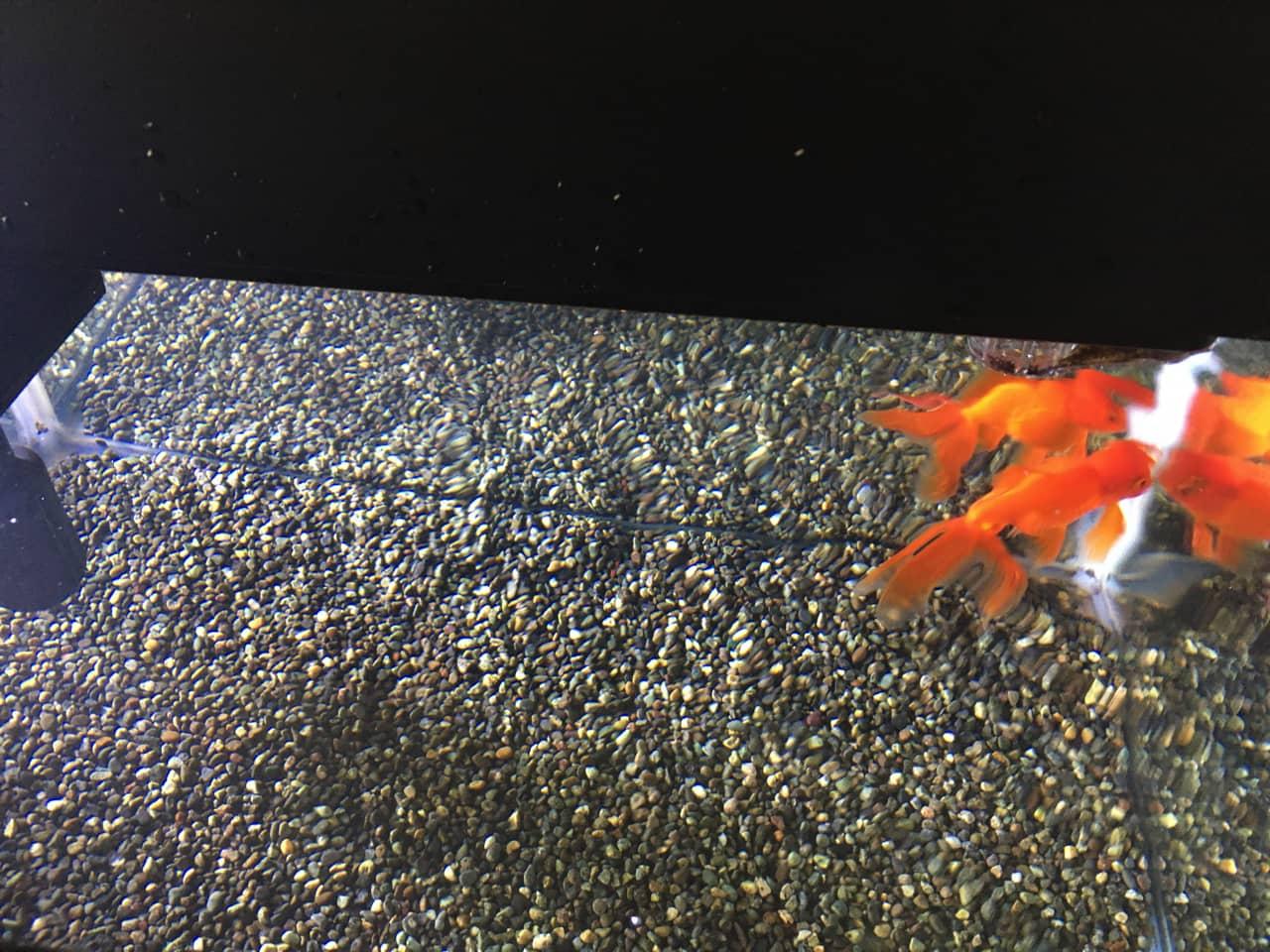goldfish_aquarium_cleaning_14